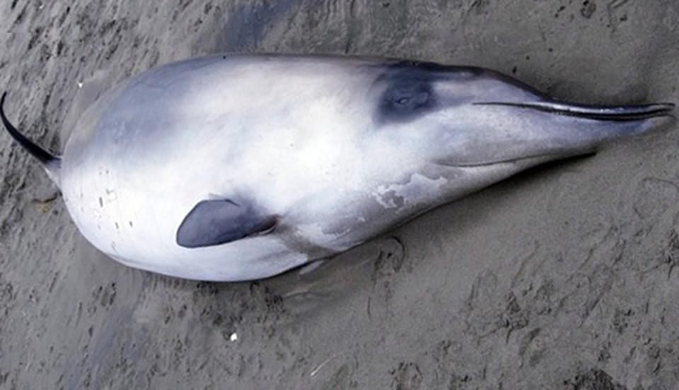 Gray gagalı balinası.