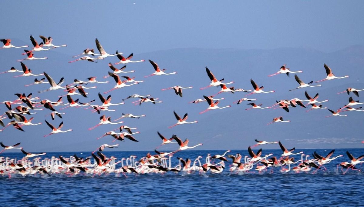 Flamingo feast in Van Lake