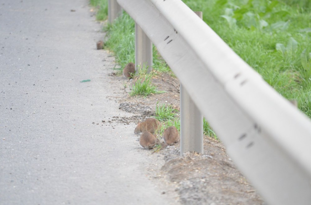 İstanbul yolunu fareler bastı - 5