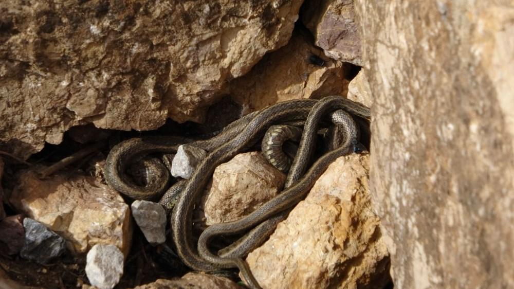 Yüksekova'da sürü halindeki yılanlar Brezilya'nın 'Yılan Adası'nı andırıyor - 1