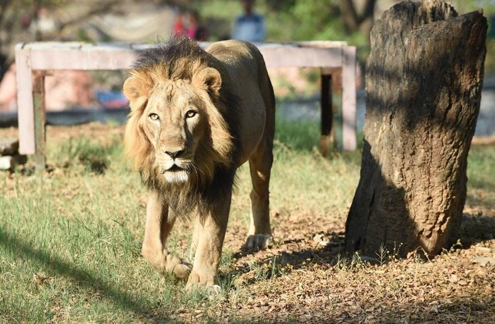 Hindistan'da Covid hayvanlara sıçradı, sekiz aslan virüse yakalandı - 3
